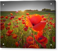 Poppies At Sunset Acrylic Print by Matt Taylor