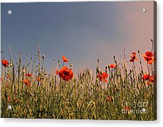 Poppy Field In The Evening Acrylic Print by SK Pfphotography