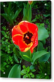 Nature Acrylic Print featuring the photograph Poppy by Roberto Alamino