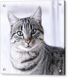 Portrait Gray Tabby Cat Acrylic Print by Maika 777