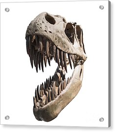 Portrait Of A Dinosaur Skeleton, Isolated On Pure White. Acrylic Print by Caio Caldas