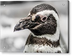 Portrait Of A Penguin Acrylic Print by Tamyra Ayles