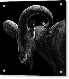 Portrait Of East Caucasian Tur In Black And White  Acrylic Print by Lukas Holas