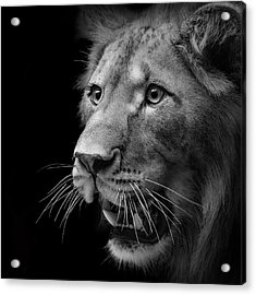 Portrait Of Lion In Black And White II Acrylic Print by Lukas Holas