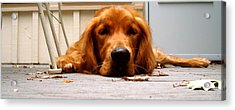 Posing Puppy Acrylic Print by Jamie Riddle