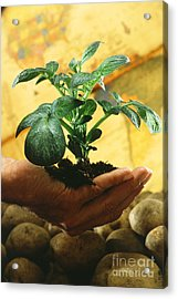 Potato Plant Acrylic Print by Science Source
