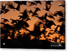 Pre-dawn Flight Of Snow Geese Flock Acrylic Print by Max Allen