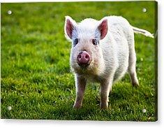 Precocious Piglet Acrylic Print by Justin Albrecht