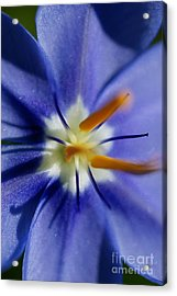 Pretty Blue Acrylic Print by Iris Greenwell