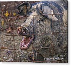 Pretty Pig Acrylic Print by Timothy Flanigan and Debbie Flanigan at Nature Exposure