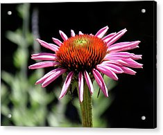 Pretty Pink Coneflower Acrylic Print by Rona Black
