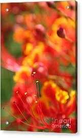 Pride Of Barbados Acrylic Print by Sharon Mau