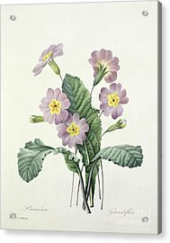 Primrose Acrylic Print by Pierre Joseph Redoute