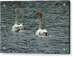 Proud Trumpeter Family Acrylic Print by Ron Read
