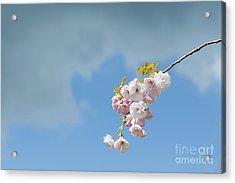 Prunus Ichiyo Blossom  Acrylic Print by Tim Gainey