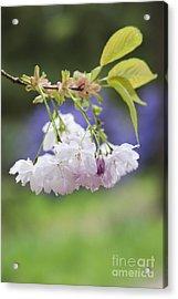 Prunus Shujaku Blossom Acrylic Print by Tim Gainey