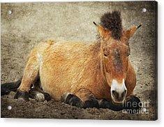 Przewalski-horse Acrylic Print by Angela Doelling AD DESIGN Photo and PhotoArt