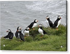 Puffin Conference Acrylic Print by Michele Burgess