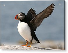 Puffin Impersonating An Eagle Acrylic Print by Stanley Klein