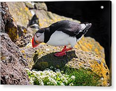 Puffin In Iceland Checking The Cave Acrylic Print by Matthias Hauser