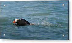 Puffin Run Acrylic Print by Fraida Gutovich