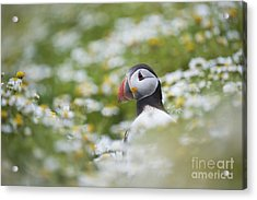 Puffin Acrylic Print by Tim Gainey