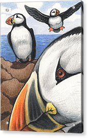Puffins Acrylic Print by Amy S Turner
