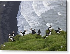 Puffins On The Edge Acrylic Print by Michele Burgess