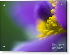 Pulsatilla Acrylic Print by Silke Magino