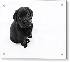 Puppy In The Snow Acrylic Print by Larry Marshall