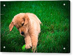 Puppy Playing Acrylic Print by William Wight