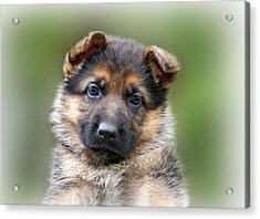 Puppy Portrait Acrylic Print by Sandy Keeton