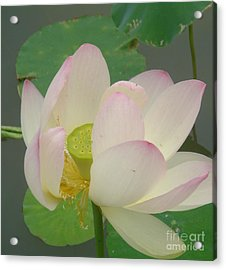 Purity Of The Pink Lotus Acrylic Print by Renu Anne