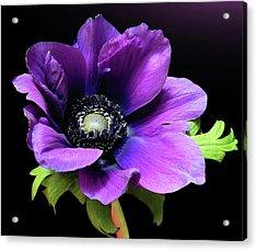 Purple Anemone Flower Acrylic Print by Gitpix