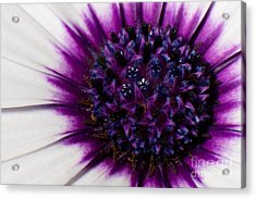 Purple Color Burst Acrylic Print by Michael Herb