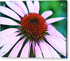 Purple Coneflower Close-up Acrylic Print by Gary Richards