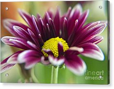 Purple Daisy Acrylic Print by Kelly Holm