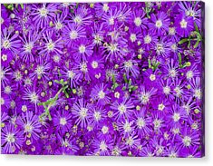 Purple Flowers Acrylic Print by Frank Tschakert