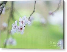 Purple Leaved Cherry Plum Blossom Acrylic Print by Tim Gainey