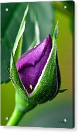 Purple Rose Bud Acrylic Print by Christopher Holmes