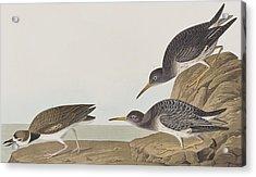 Purple Sandpiper Acrylic Print by John James Audubon