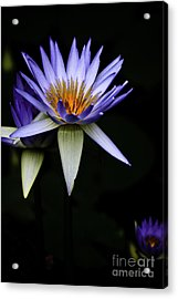 Purple Waterlily Acrylic Print by Avalon Fine Art Photography