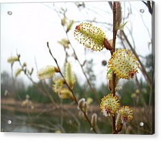 Pussy Willow Blossoms Acrylic Print by Kent Lorentzen