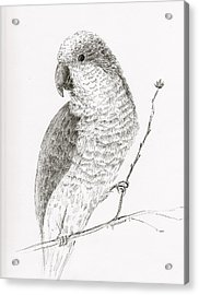 Quaker Parrot In The Tree Acrylic Print by Crazy Cat Lady