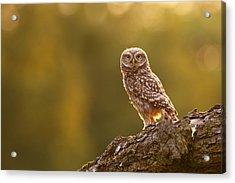 Qui, Moi? Little Owlet In Warm Light Acrylic Print by Roeselien Raimond