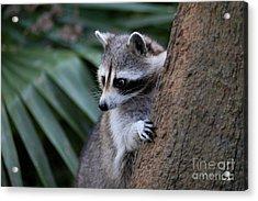 Raccoon Acrylic Print by Scott Pellegrin