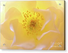 Radiant Gift Acrylic Print by Julia Hiebaum