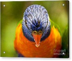 Rainbow Lorikeet Acrylic Print by Avalon Fine Art Photography