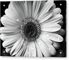 Raindrops On Gerber Daisy Black And White Acrylic Print by Jennie Marie Schell