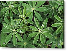 Raindrops On Lupine Acrylic Print by Greg Vaughn - Printscapes
